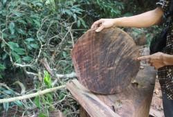 Xử lý vụ lâm tặc phá rừng nghiến cổ thụ tại Hà Giang