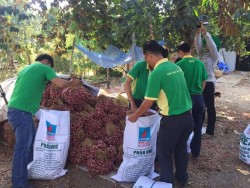 PVFCCo hỗ trợ nông dân  tiêu thụ hành tím