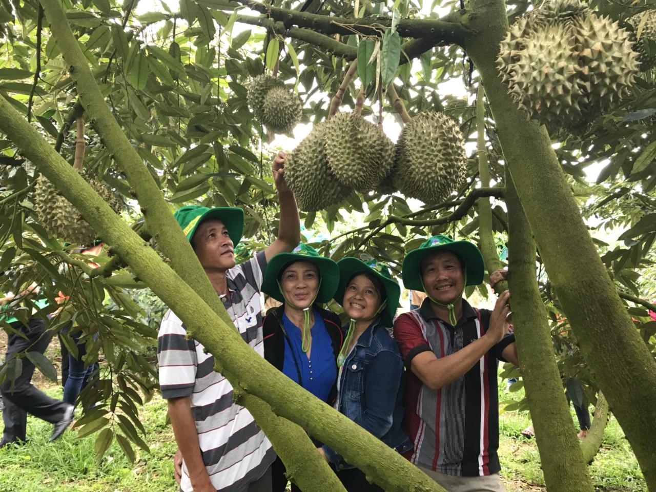 Phân bón Phú Mỹ giúp sầu riêng tại Khánh Sơn đạt năng suất cao 3