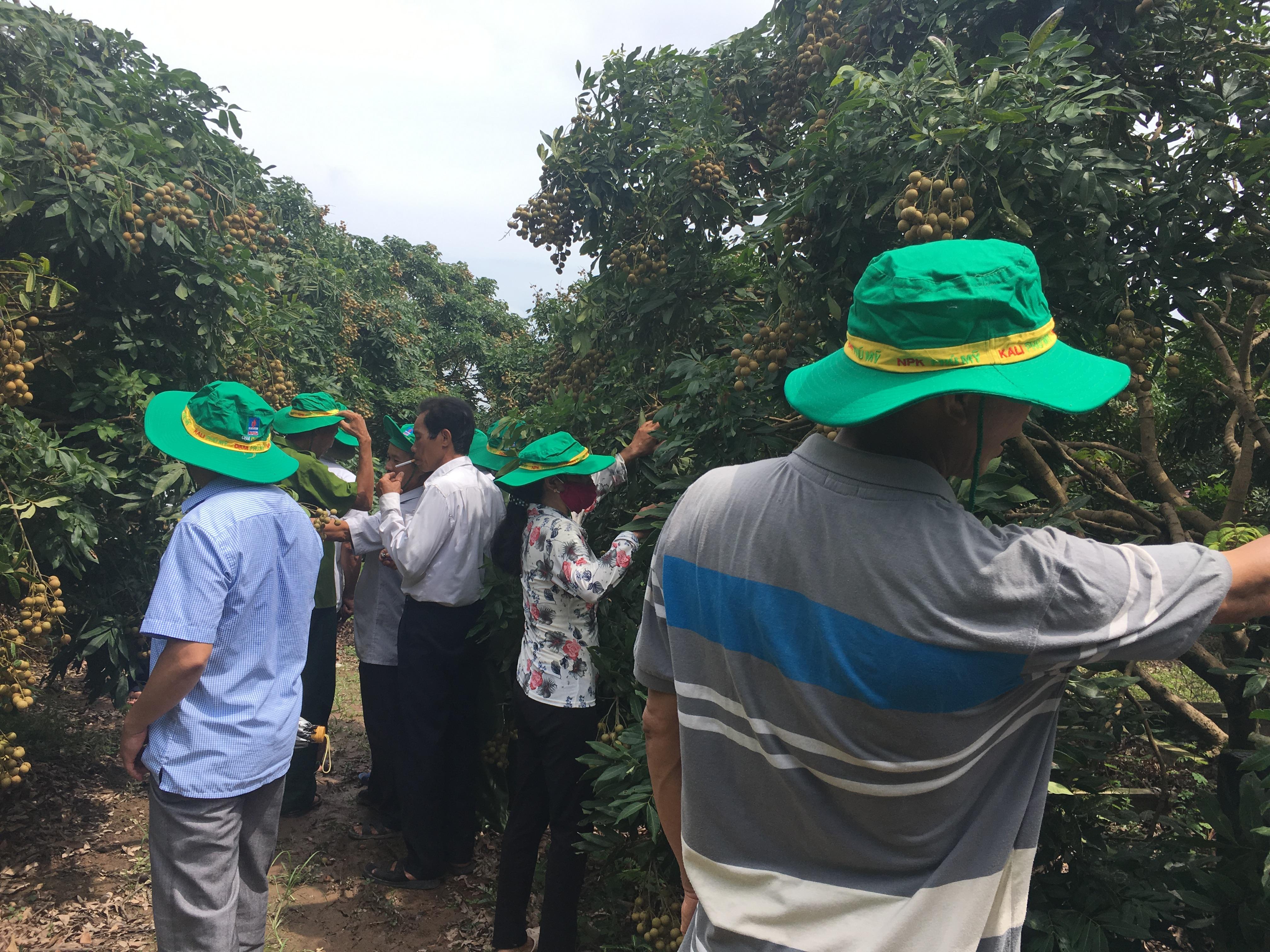 Phân bón Phú Mỹ giúp cây nhãn Hưng Yên tăng năng suất 3