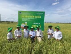 Phân bón Phú Mỹ giúp cây lúa tại Quảng Trị tăng năng suất