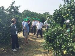 Phân bón Phú Mỹ giúp cây Cam Vinh đạt hiệu quả cao