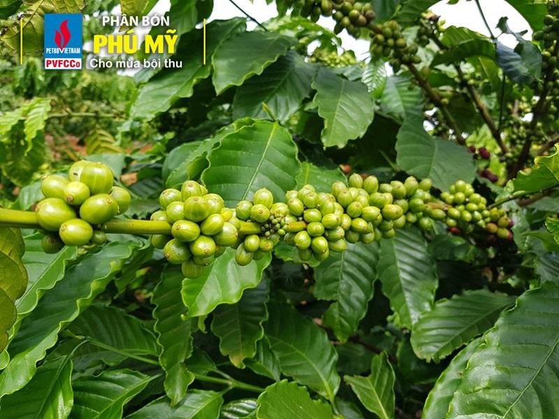 Cà phê Tây Nguyên 'mê' phân bón Phú Mỹ