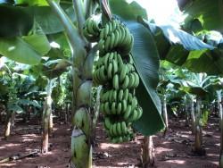 Phân bón Phú Mỹ giúp cây chuối đạt năng suất cao