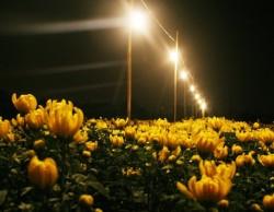 Hỗ trợ nông dân tiết kiệm điện trong chong đèn hoa cúc
