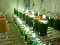 Phát triển nhiên liệu sinh học từ sinh khối vi tảo biển
