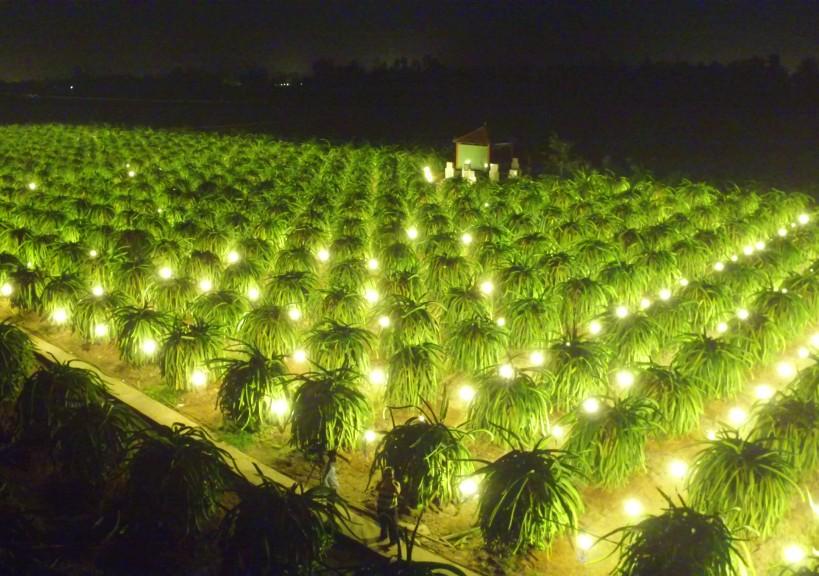 Giảm đến 70% điện năng khi sử dụng đèn compact kích thích thanh long trái vụ